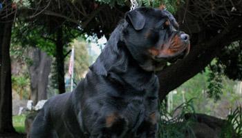 rottweiler-puppies-for-sale-edmonton-alberta-canada
