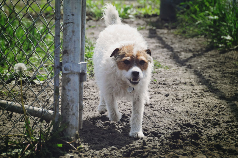 Small Wire Coat Jack Russell Terrier Dog at 780.