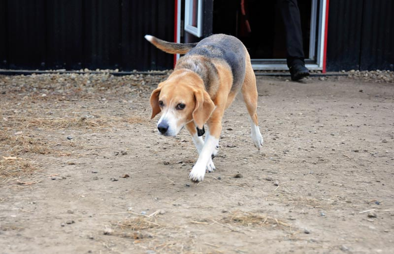 Beagle swaggering at 780 Kennels.