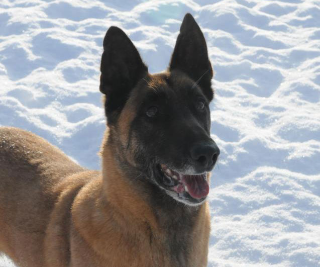 Belgian Malinois smiling for the camera.