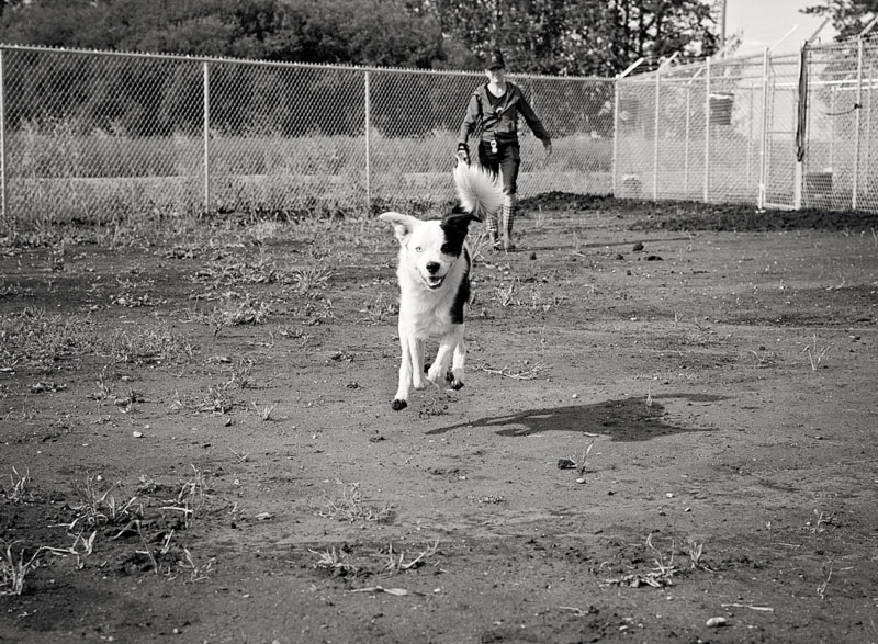 Border Collie cross running in dog park with caregiver.