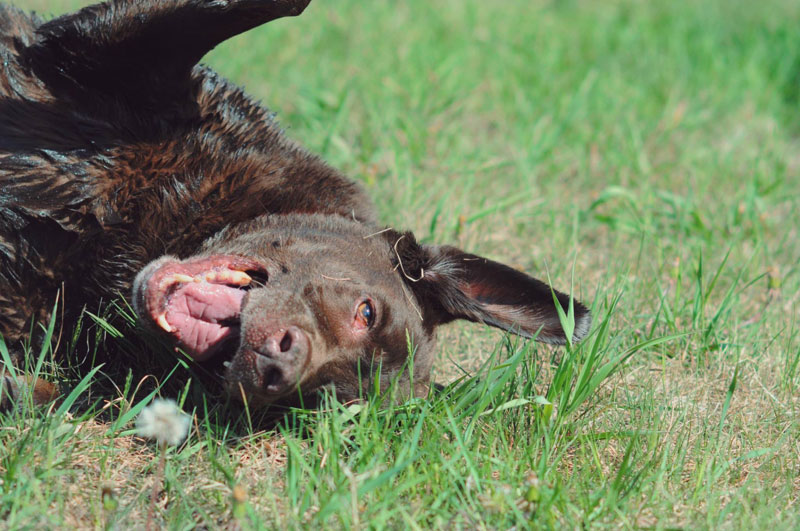 Chocolate Lab rolling on the grass after a bath.