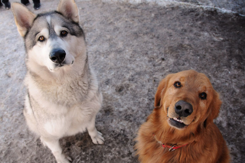 Giant Alaskan Malamute and Golden Retriever sitting.