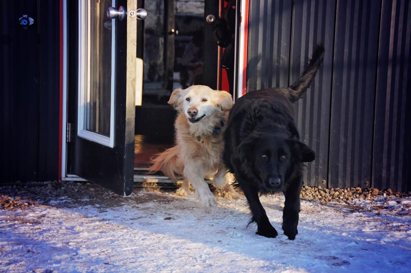 Golden Retriever & Black Lab being picked-up at 780.