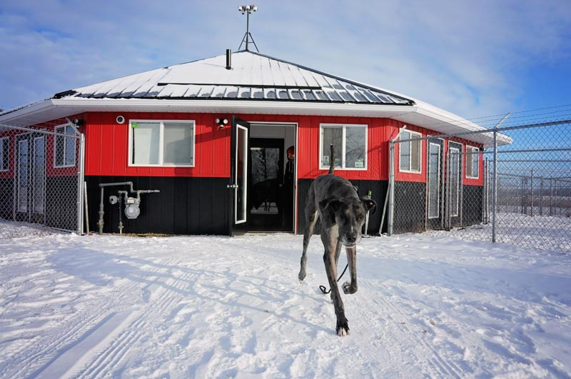 Great Dane running at 780 Kennels in winter.
