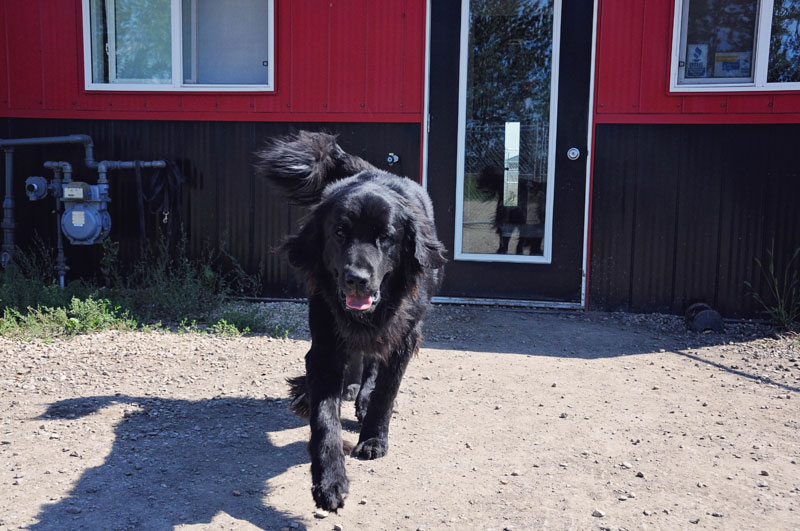 Newfoundland dog wagging tail outside 780 Kennels.
