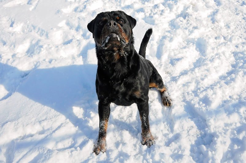 Rottweiler playing in snow.