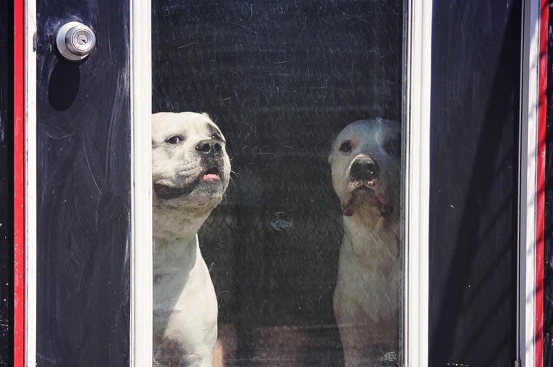 Two American Bulldogs boarding at 780.