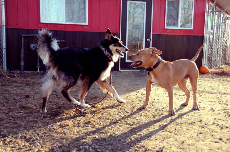Two kennel canines meeting for play.