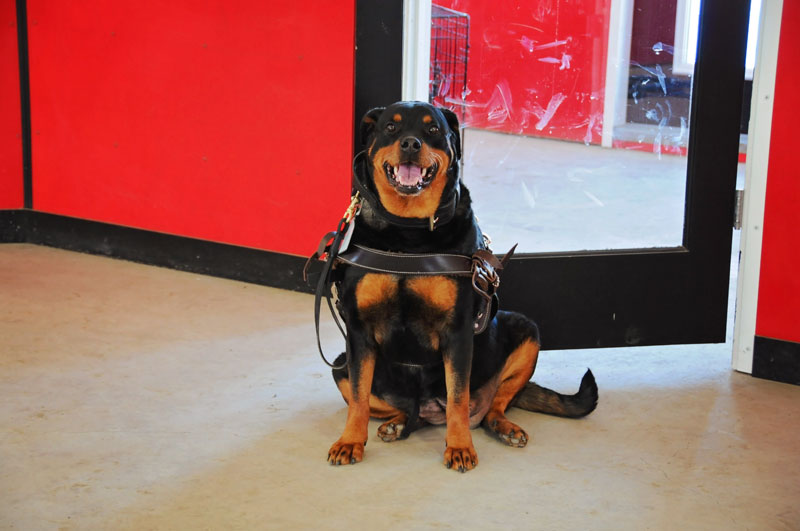 Alberta registered service Rottweiler dog practicing a sit.