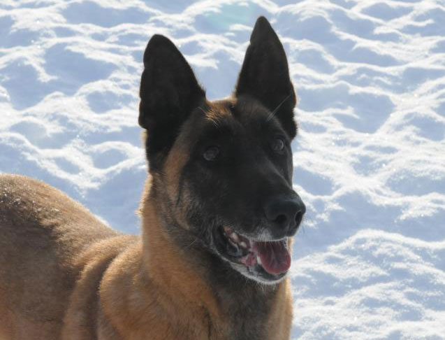 Belgian Malinois Search & Rescue Dog.