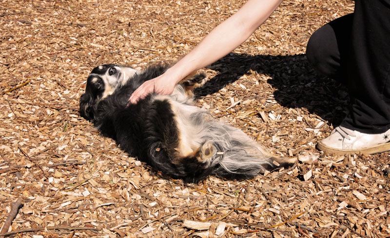 Belly rubs for Mini Australian Shepherd.