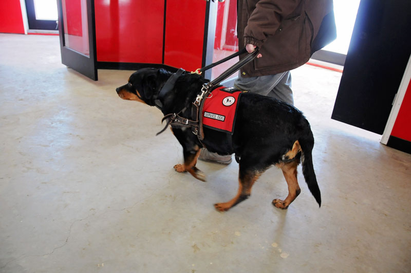 Certified Service Dog heeling for her handler.