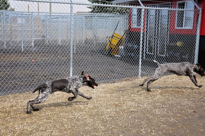 German Pointer gun dogs training at 780 Kennels.