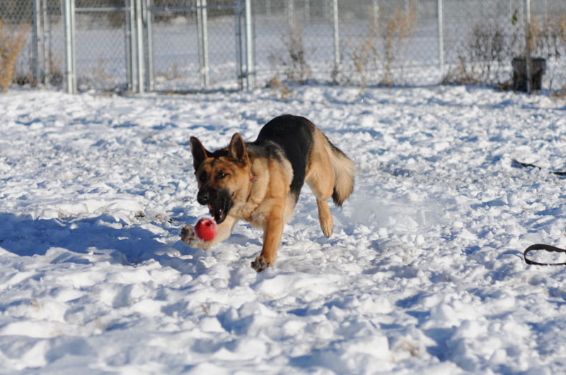 German Shepherd training with ball play in the Edmonton area.