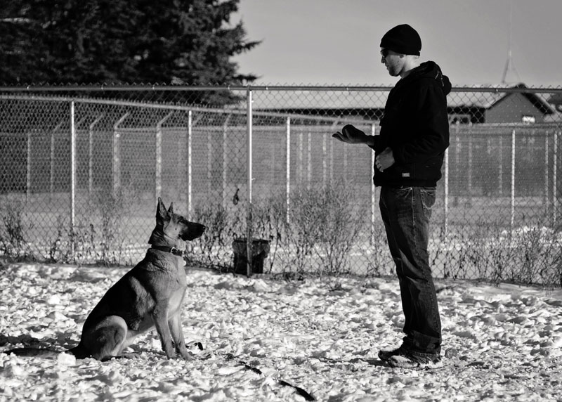 High drive German Shepherd sit command with his trainer.