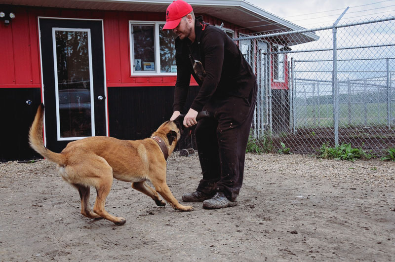 How to tug and play with a security dog at 780 Kennels