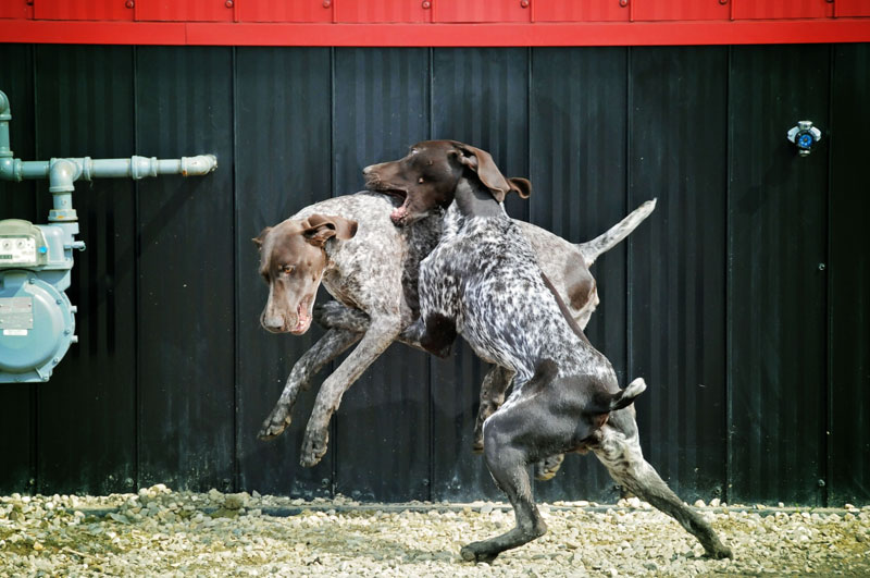 Introducing a new German Pointer to the bird dog pack.