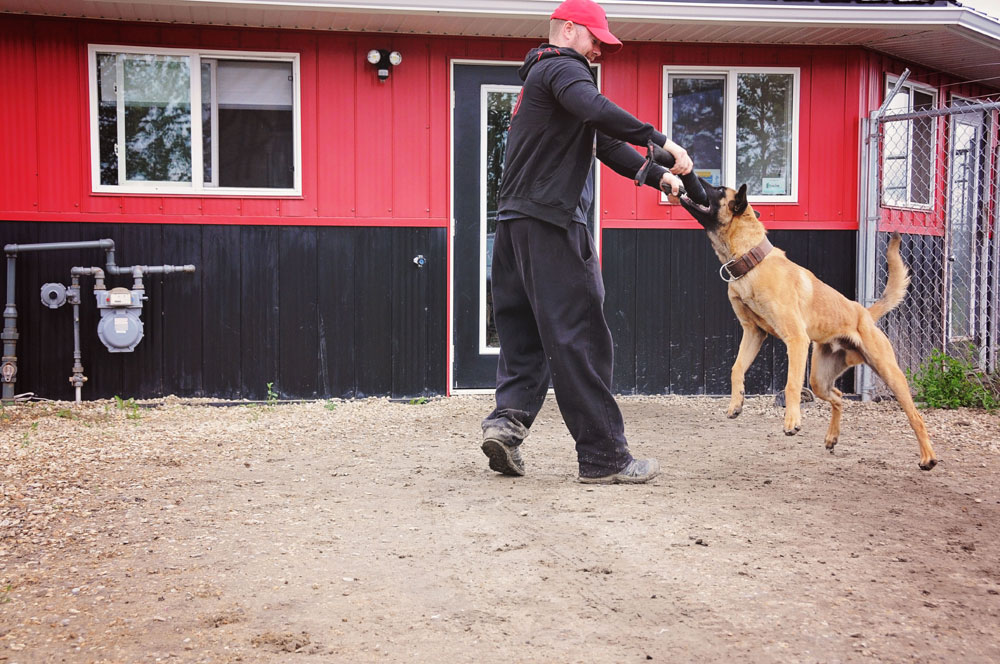 Board & train Belgian Malinois playing tug with certified obedience instructor.