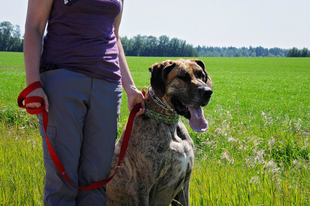 Free personal canine training with Great Dane, Axle.
