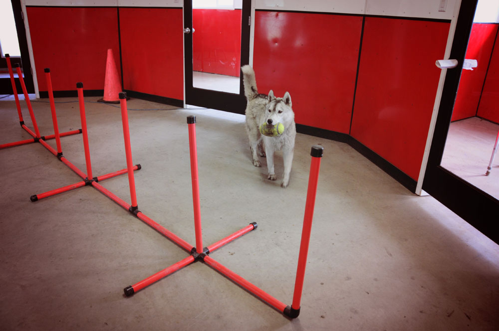 Indoor agility obstacle course with Loki learning the weaving poles.