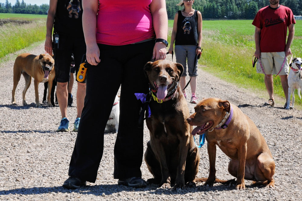 Obedience classes with a Pitbull & Chocolate Lab leading a group sit.