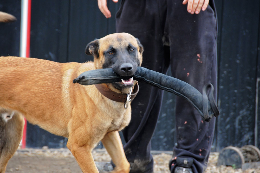 Private dog trainer with high drive Belgian Malinois and bite tug.