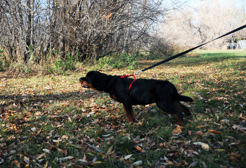 Search and rescue tracking with a Rottweiler.